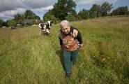 Tiskres Kalajaagu talus on Geete Kotka lehmi pidanud 27 aastat. Et lehm lüpstud saaks, tõuseb perenaine igal hommikul juba kell pool kolm üles.
