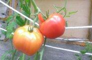 PÄEVAPILT: Huvitava kujuga tomatid
