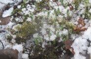 FOTO: Lumikellukesed pressivad end sõbrapäevaks lume alt välja