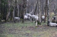 Saaremaa Ökoküla lambad