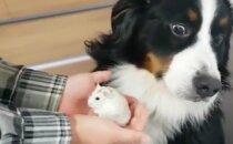 HITTVIDEO | Hirmul on tõepoolest suured silmad: Vaata, millist paanikat võib üks väike hamster koeras tekitada!