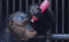 """Kas šimpansid kummardavad jumalat? Teadlane filmis loomi """"rituaalselt"""" käitumas"""