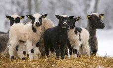 Eestis on uus põlistõug - kihnu maalammas