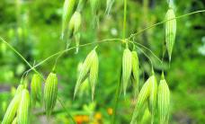 Rukis ja kaer – hea ravim aiamullale