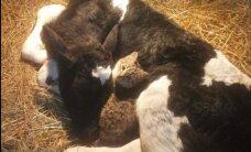 Üliarmsad FOTOD: Konju mõisa talus ravis kassipoeg öö läbi haiget vasikat