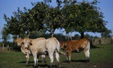 Prantsusmaa lehmad saavad maiustada nisuga