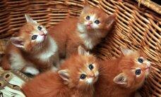 В культурном центре Линдакиви пройдет международная выставка кошек