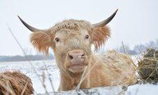Lehm Mari, lammas Piret ja 150 matkajat