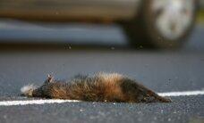 Endine jahimees: seakatku leviku peatamiseks oleks pidanud kährikute korjused teedelt ära korjama