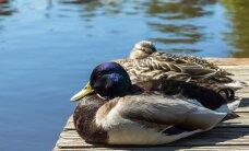 Птичий грипп: в Нидерландах забили 190 000 уток