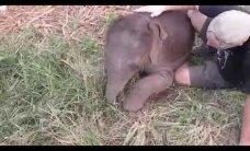 VIDEO: Vaata, kuidas pisike elevant soovib sülle pugeda