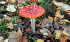 Lugeja: punane kärbseseen – midagi enamat kui lihtsalt ilus mürgiseen
