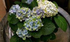 Lilled, taimed, jõuluilu, jõuluehted, Hortes