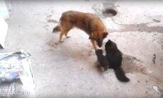 Tõeline sõprusside: kassiema tutvustab oma poegi vanale heale sõbrale, sõbra reaktsioon on liigutav