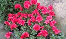 ФОТО читателя Delfi: А вы уже видели цветущие азалии и порхающих бабочек посреди зимы?