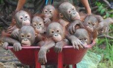 VIDEO: Väikesed orangutanibeebid naudivad sõitu aiakärus