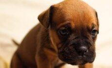 Miks koer tagumikku lohistab?