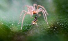 VIDEO: Vaata, kuidas looduses asjad käivad! Nutikas ämblik, kes ise õnnetuses vigastatud saanud jalga tohterdab