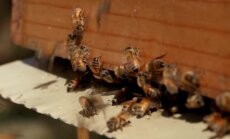 KAAMERAGA MAAL: Läänemaa mesinik võtab kasutusele Austraalias loodud revolutsioonilise mesitaru