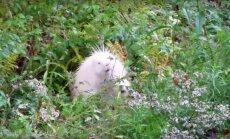 LOODUSE IME: kas sina arvaksid ära, kes on see valge kohevakarvaline loomake?