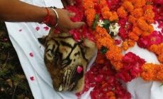 Maailma vanim ja auväärseim tiigriproua suri