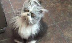 VIDEO: Saa tuttavaks ühe tõelise iludusega! Kass, kes ei ole siit ilmast pärit