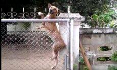VIDEO: Ei takista vallid, ei takista kraav! Koera, kes tahab sõbraga mängima minna, kõrge tara ei peata