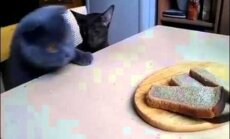 Humoorikas VIDEO: Vaata, kuidas kaks salakavalat kassi leivavargil käisid