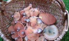 Leili metsalood: Seenesuvi kestab, kuuseriisikad on ninad maapõuest välja ajanud