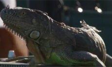 Miami tennisturniirile sattunud iguaan