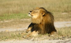 Maailmas pahameelt tekitanud lõvi tapmise saaga sai kurva jätku: salakütt tappis Cecil`i venna