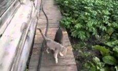 VIDEO: Jah, perenaine, saab tehtud! Koer tassib sõnakuulmatu kassi ise koju