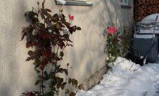 ФОТО читателя Delfi: Розовые розы цветут вопреки снегу