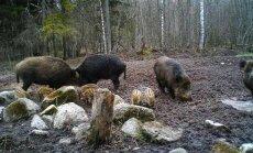 PÄEVAPILT: Triibulised põrsad matsutavad söödaplatsil