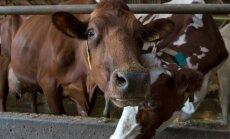 Kõljala Põllumajanduse osaühing,lehm, lehmad