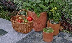 Paljud köögiviljad kasvavad hästi potitaimena.