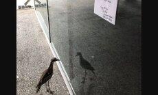 8 tundi peegli ees: armsa kirjaga eneseimetlejast lind võidab Austraalias kõigi möödakäijate südamed