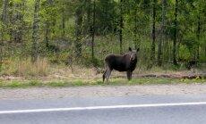 Põder Tallinna-Tartu mnt ääres. Eesti ainus ökodukt asub just sel maanteel ja seni pole metsloomad selle vastu ülemäära huvi tundnud.