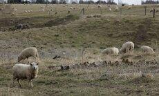 Rägavere mõisnik Morgan Hammerbeck ja tema lambakari