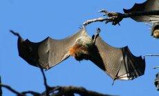 Kuumalaine sundis austraallasi nahkhiirte päästmiseks vett kasutama