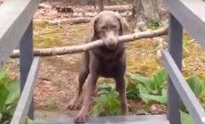 VIDEO: Nutti peab olema! Vaata, kuidas see koer lahendab eluteele sattunud humoorika raskuse