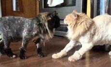 EKSPERIMENT: Kas kassid tunnevad üksteist ära peale seda, kui neile uhked lõvisoengud teha?