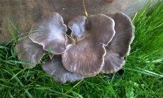 Austerservikud kasvavad meelsasti niiskel puidul.
