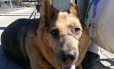 Hallikese-nimeline väärkoheldud koer vajab heade inimeste abi