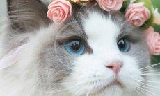 SAA TUTTAVAKS: Maailma kauneimal kassil printsess Auroral on üle saja tuhande fänni