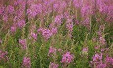 Suur kunstnik Loodus vahetab oma paletil värve. Mis taimele kuulub lillakaspunane toon? Ja valge?