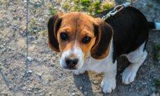 Kuidas koera pidevale haukumisele piir panna?
