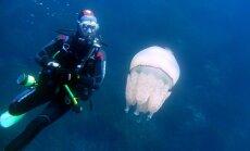 Üllatusi täis: meduusid on teadusele endiselt paras mõistatus