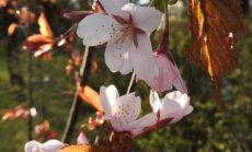 Sahhalini kirsipuu