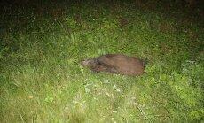 Pärnu mnt ääres oli kuus surnud metssiga